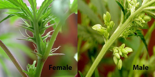 male and female cannabis