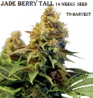 Jade Berry Tall